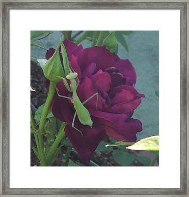 The Rose And Mantis Framed Print