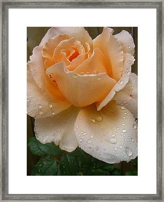 The Rose Framed Print by Kimberly Morin