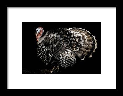 Turkey Feather Framed Prints