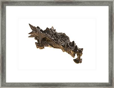 The Skull Of A Dracorex With Spikes Framed Print by Ira Block
