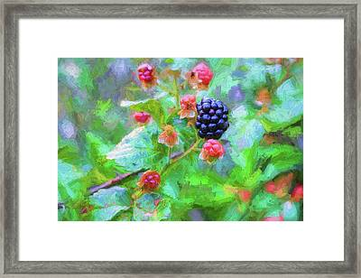 The South Georgia Blackberry Framed Print by JC Findley