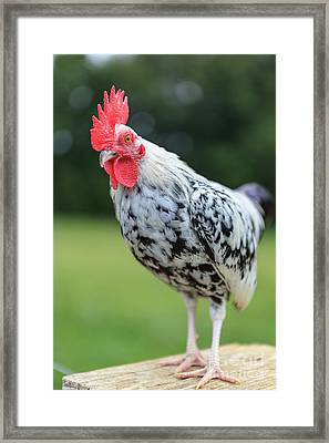 The Speckled Chicken Framed Print