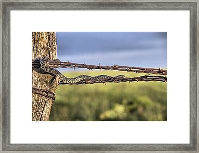 The Speckled Kingsnake  Framed Print by JC Findley