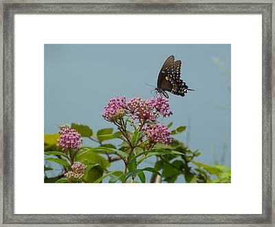 The Spicebush Swallowtail Of Prettyboy Reservoir Framed Print by Donald C Morgan