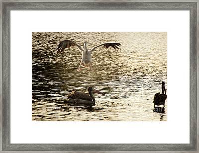 The Spot-billed Pelican Or Grey Pelican  Pelecanus Philippensis  Framed Print by Venura Herath