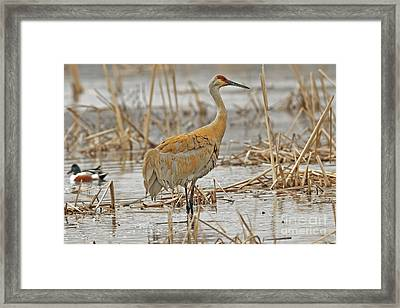 The Spring Sandhill Crane Are Back Framed Print by Natural Focal Point Photography