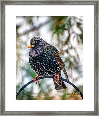 The Starling Framed Print