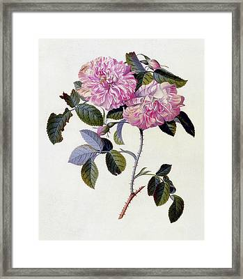 The Striped Monthly Rose Framed Print by Georg Dionysius Ehret