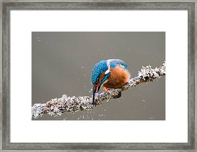 Framed Print featuring the photograph The Stunning Common Kingfisher by Phil Stone