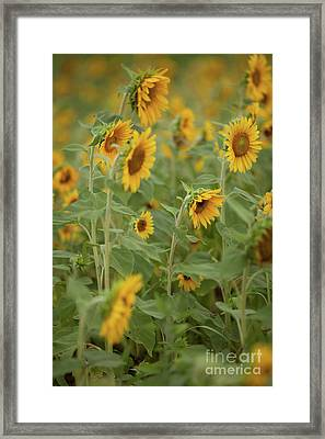 The Sunflower Patch Framed Print