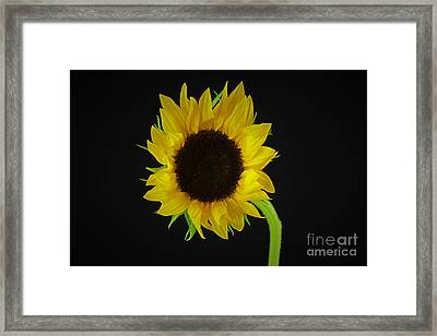 The Sunflower Framed Print by Ray Shrewsberry