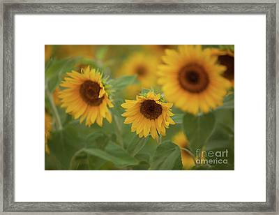 The Sunflowers In The Field Framed Print