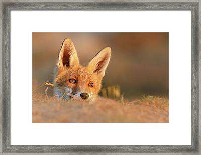 The Sungazer - Red Fox Kit Framed Print by Roeselien Raimond