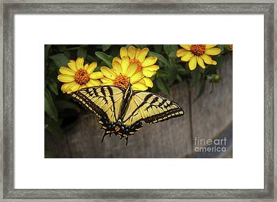 The Swallowtail Framed Print by Robert Bales