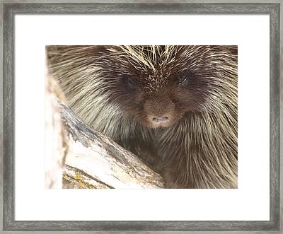 The Tender Side Of Porcupine Framed Print