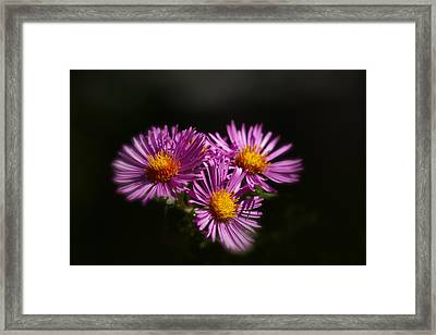 Framed Print featuring the photograph The Three Daisies by Anthony Rego