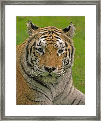 The Tiger's Stare Framed Print by Matt MacMillan