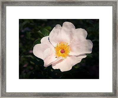 The Touch Of Pink Framed Print by Joanna Pechmann