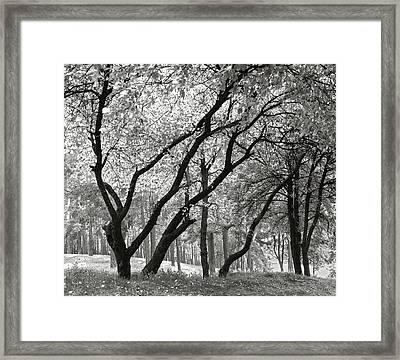 The Trees Dancing. Chernihiv, 2014. Framed Print