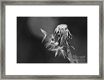 The Underrated Dandelion 1 Framed Print