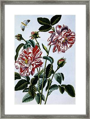 The Variegated Rose Of England Framed Print by Pierre-Joseph Buchoz