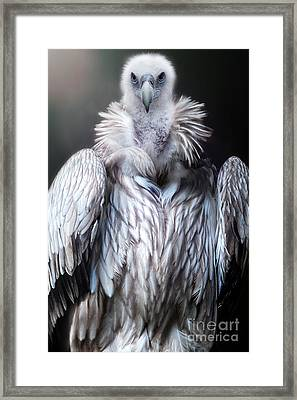 The Vulture Framed Print