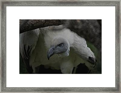 The Vulture Dry Brushed Framed Print by Ernie Echols
