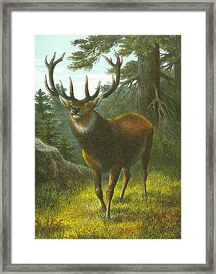 The Wapiti Framed Print by English School