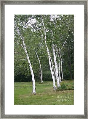 The White Birch Framed Print by Dennis Curry