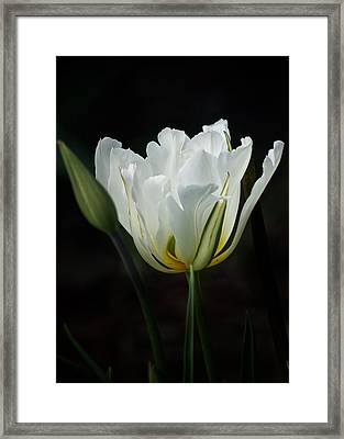 The White Tulip Framed Print