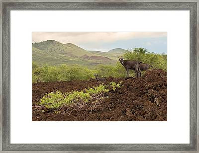 The Wild Goats Of La Perouse Framed Print by Susan Rissi Tregoning
