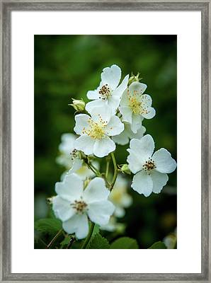 Framed Print featuring the photograph The Wild Rose by Mark Dodd