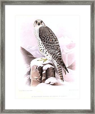 The Wild Tiercel Iceland Falcon Framed Print