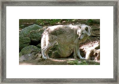 The Wild Wolve Group B Framed Print by Debra     Vatalaro