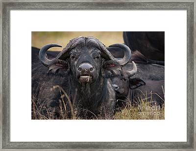 The Wilderbeast Framed Print by Nichola Denny