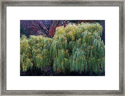 The Willows Of Central Park Framed Print