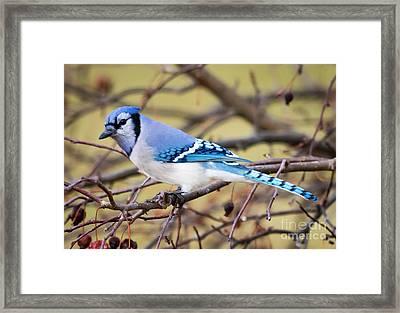 The Winter Blue Jay  Framed Print by Ricky L Jones