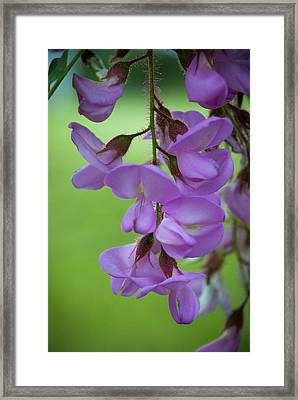 Framed Print featuring the photograph The Wisteria by Mark Dodd