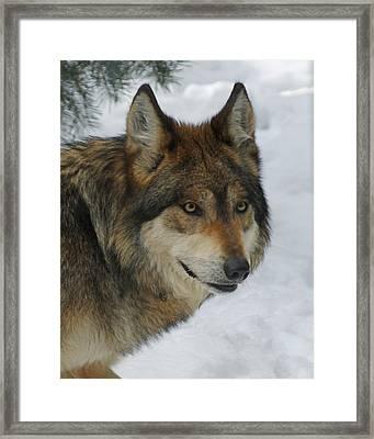 The Wolf 2 Framed Print by Ernie Echols