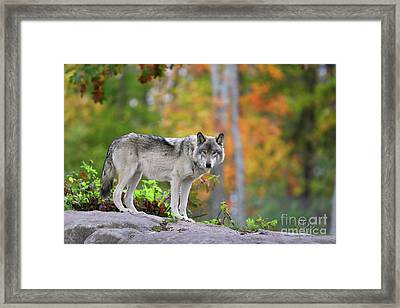 The Wolf. Framed Print