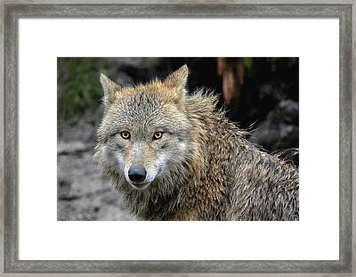 The Wolfess Framed Print