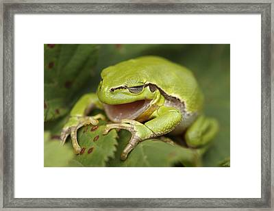 The Yawning Tree Frog Framed Print by Roeselien Raimond