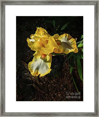 The Yellow Iris Framed Print by Robert Bales