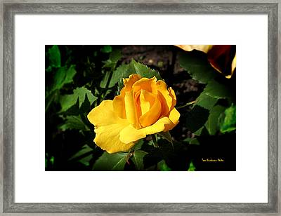The Yellow Rose Of Garden Framed Print by Tom Buchanan