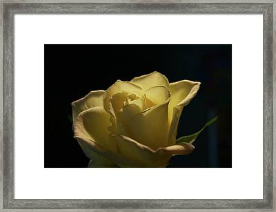 The Yellow Rose Framed Print by Sheryl Thomas