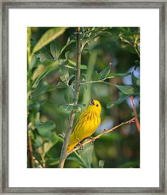 Framed Print featuring the photograph The Yellow Warbler by Bill Wakeley
