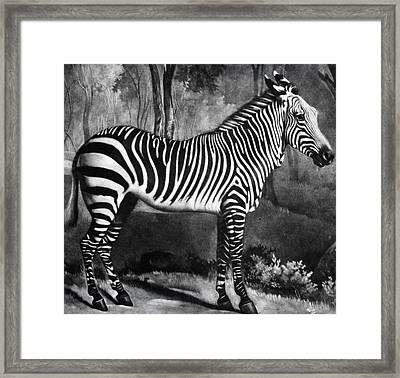 The Zebra Framed Print
