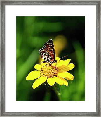 Theona Checkerspot Framed Print by Bill Morgenstern