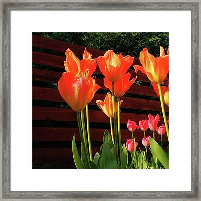 These Are #tulips From My Back Garden Framed Print by Dante Harker