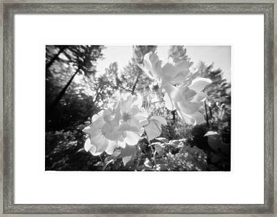 These White Roses Framed Print by Daniel Furon
